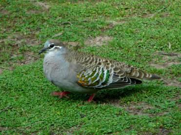 Common Bronzewing by Andrew McCutcheon