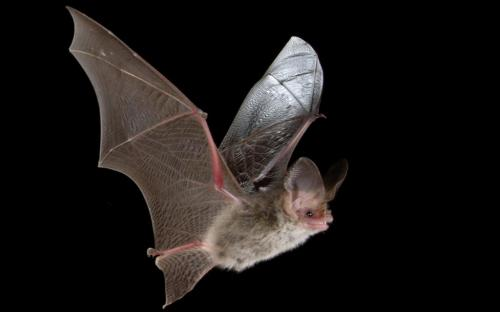 Lesser Long-eared Bat, Nyctophilus geoffroyi