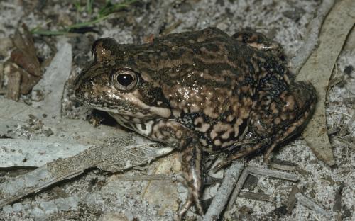 Eastern Banjo Frog, Limnodynastes dumerilii