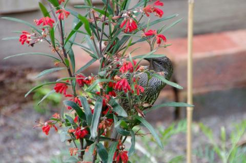 The Little Wattlebird | Friends of Native Wildlife Inc